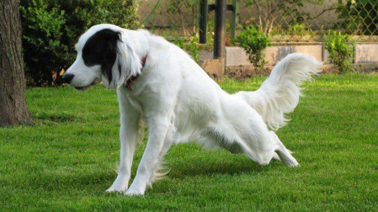 Ostéopathie des carnivores domestiques