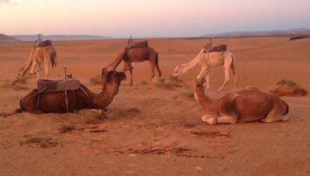 stage clinic maroc - chameau de Zagora